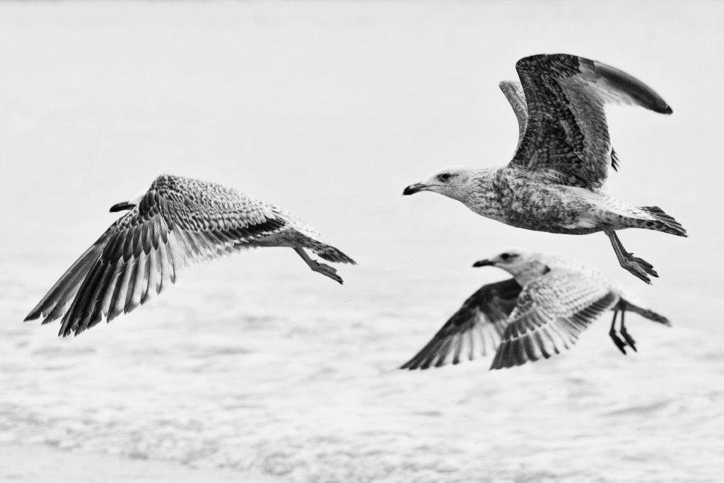 Photo bord de mer : Seagulls, Saint Malo -  2014 | ©Rod Maurice